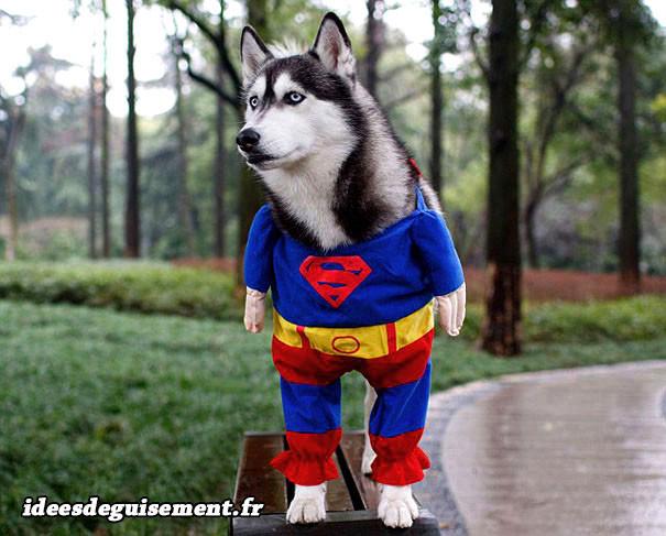 Déguisement chien husky superman